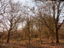 madera interior con natu alto del arbolado del bosque de muchos troncos desnudos del árbol Imagen de archivo libre de regalías