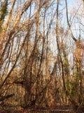 madera interior con natu alto del arbolado del bosque de muchos troncos desnudos del árbol Fotos de archivo