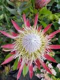 Madera kwiat Zdjęcie Stock