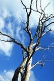 Madera muerta en cielo azul Fotografía de archivo