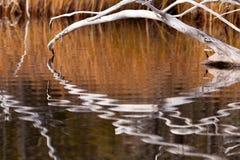 Madera muerta resistida reflejada en superficie ondulada foto de archivo