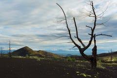 Madera muerta - una consecuencia de un lanzamiento catastrófico de la ceniza durante la erupción del volcán en 1975 Tolbachik del imagen de archivo libre de regalías