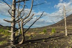 Madera muerta - una consecuencia de un lanzamiento catastrófico de la ceniza durante la erupción del volcán en 1975 Tolbachik del foto de archivo