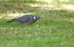 Madera-paloma común Imagenes de archivo