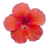Madera roja aislada Rose de la flor Imagenes de archivo