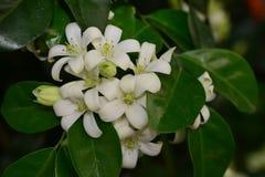 Madera satinada de Andaman, árbol de la caja de Chanese Fotografía de archivo libre de regalías
