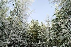 Madera siberiana en el invierno Foto de archivo libre de regalías