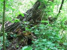 Madera vieja en el bosque foto de archivo