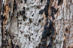 Madera vieja quemada nudosa Imagenes de archivo