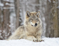 Madera Wolf On Guard Fotos de archivo