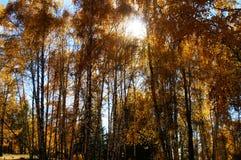 Maderas de abedul en otoño Foto de archivo