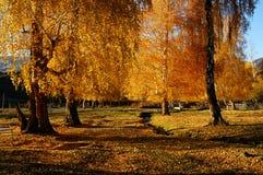Maderas de abedul en otoño Fotos de archivo libres de regalías