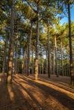 Maderas de pino de Formby imagen de archivo libre de regalías