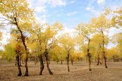 Maderas del álamo de Diversifolious en otoño Fotos de archivo libres de regalías