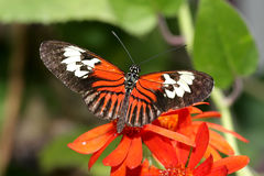 Maderia Butterfly Stock Image