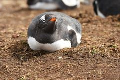Madgalenapinguïnen in Vrijwilligerspunt, Falkland Islands royalty-vrije stock afbeeldingen