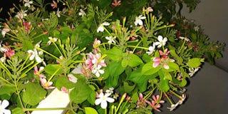 Madhumalti blomma royaltyfria foton