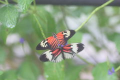 Madiera butterflies. These orange white and black butterflies are called Madiera Royalty Free Stock Photography
