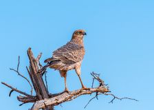 Pale Chanting Goshawk on alert. In the Madikwe Game Reserve in South Africa, a Pale Chanting Goshawk looks behind at the safari vehicle stopped to observe Royalty Free Stock Photo