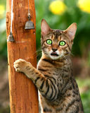 Madness. A Bengali special breed kitten climbing a pole and pointing its tongue out Royalty Free Stock Photo