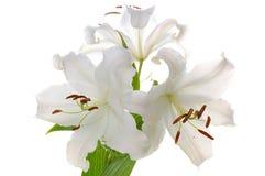 madonna лилии Стоковые Фото