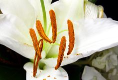 Крупный план пыльников с зернами цветня лилии Madonna Стоковые Изображения RF