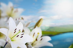 Madonna lilies. Spring madonna lilies on landscape with river Stock Images