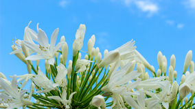 Madonna lilies Royalty Free Stock Photo