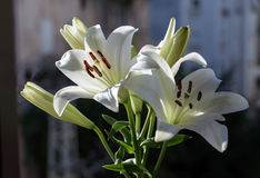 Madonna Lilly flower Stock Images