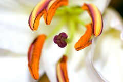 Madonna lily Royalty Free Stock Images