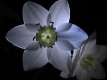 Madonna lily Stock Photography