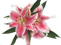 madonna lily Zdjęcie Stock