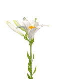 Madonna lily (Lilium candidum) Royalty Free Stock Photos