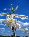 Beautiful lily in the sky royalty free stock photo