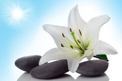 Madonna lily and spa stone Stock Photography