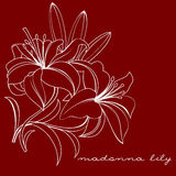 Madonna lily Royalty Free Stock Photos