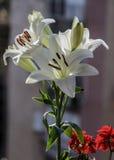 Madonny Lilly kwiat Zdjęcie Stock