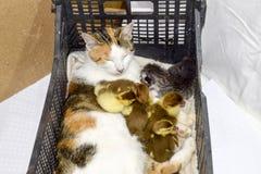 Madre adoptiva del gato para los anadones Foto de archivo libre de regalías