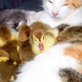 Madre adoptiva del gato para los anadones imágenes de archivo libres de regalías