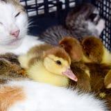 Madre adoptiva del gato para los anadones fotos de archivo