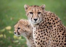 Madre africana del guepardo con Cub joven Fotografía de archivo