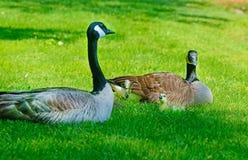 Madre, bambini e farfalla dell'oca del Canada Immagini Stock Libere da Diritti