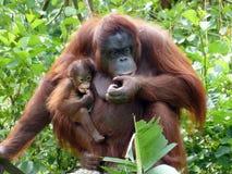 Madre & bambino dell'orangutan Fotografie Stock