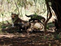 Madre cariñosa del guepardo con los cachorros Imágenes de archivo libres de regalías