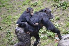 Madre con del bebé del mono la parte posterior encendido Foto de archivo libre de regalías