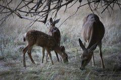 Madre con los ciervos del bebé Fotografía de archivo libre de regalías