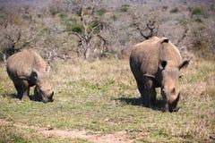 Madre Cub del Rhino che osserva parallelamente in avanti immagine stock libera da diritti