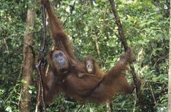 Madre de abarcamiento del orangután joven en árbol Fotos de archivo