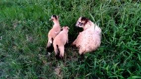 Madre de Bangladesh de las ovejas del pueblo Fotos de archivo libres de regalías