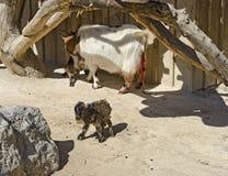 Madre de la cabra con dos niños recién nacidos Fotografía de archivo